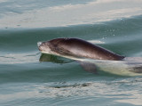Harbour Porpoise breaking the surface 03
