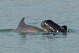 Harbour Porpoise mother-calf pair 03