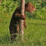 Bear Cub Hanging on Tree