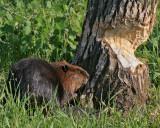 Beaver at Tree