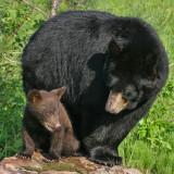 Black Bear Cinnamon Cub