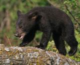 Black Bear Cub Tree Run