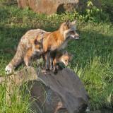 Cross Fox Two Pups on Rock