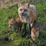 Cross Fox with Two Pups