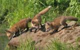 Fox Pups Three