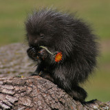 Porcupine Baby Eating Hawkweed