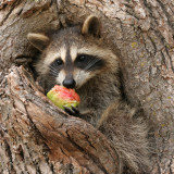 Racoon Baby Eating Apple