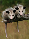 Two Baby Opossums