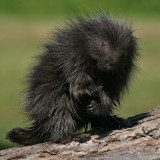 Porcupine Baby Paws Up