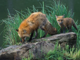 Red Fox and Babe on Rock