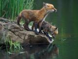 Red Fox Babes at Lake