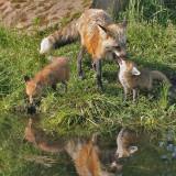 Cross Fox Feeding Pup