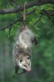 Opossum Hanging