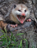 Opossum Baby Shriek