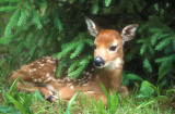 Fawn in Pines