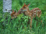 Fawns Two in Grass