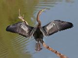 Pelicans, Cormorants, & Anhingas