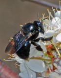 black bumblebee