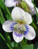 Viola missouriensis