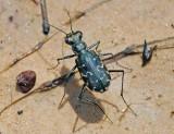 S-banded Tiger Beetle