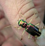 Pan American Big-headed Tiger Beetle