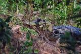 Gator guarding nest