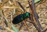 Virginia Big-headed Tiger Beetle