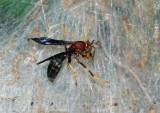 Wasp attacking tent caterpillars