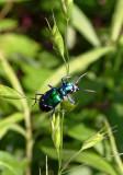 Tiger Beetle species