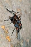 Stilt-legged Flies