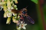 Thick-headed Fly (Physoconops brachyrhynchus)