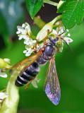 Square-headed Wasp (Tachytes distinctus)