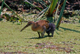 King Rail with chick.