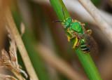 Sweat Bee (Agapostemon sericeus)