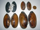 Freshwater Mussels and Clams