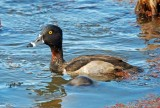 Ring-necked Duck - immature male