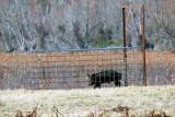 Feral hog control