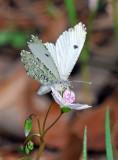 Falcate Orangetip - female