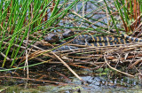 American Alligator young