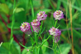 Purple Milkwort