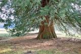 Giant Secquoia Tree