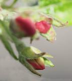 New Apple Blossom