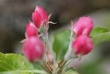 Apple Blossom Update