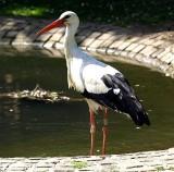 Thirsty Stork