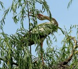 Clapper Stork