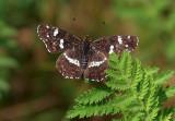 Map Butterfly (Summer Version)