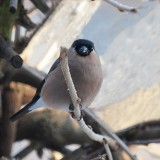 Eurasion Bullfinch (Gimpel or Dompfaff)  Female
