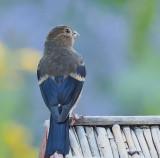 Bullfinch Juvenile