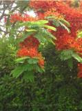 De felrode acasia boom, buurt van Dreamland