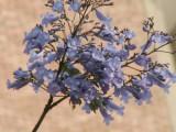 2006 de acasia in de buurt, met lila bloemen